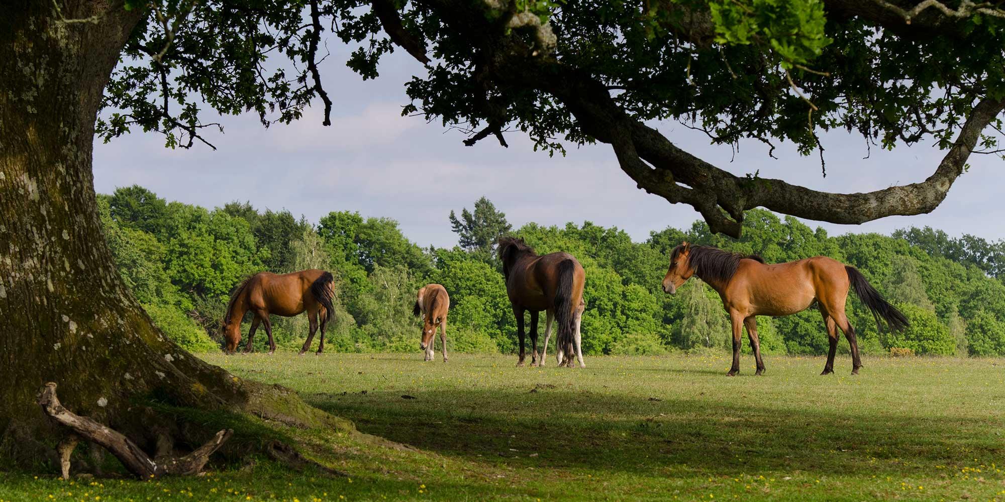 Chestnut ponies grazing beside a large oak tree in full leaf