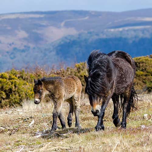 A pony and young foal on high grassy moorland