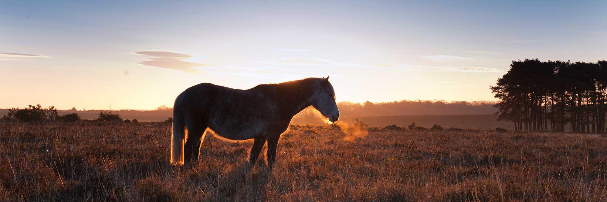 A pony grazing on misty heathland at sunrise