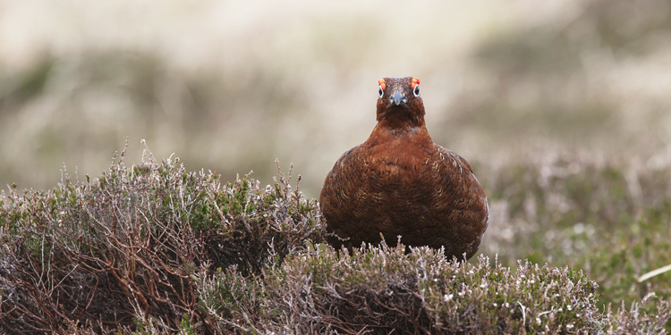 np-red-grouse