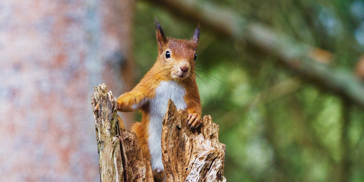 np-red-squirrel
