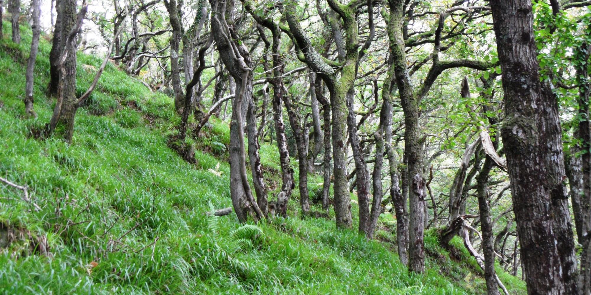 Sessile oak trees