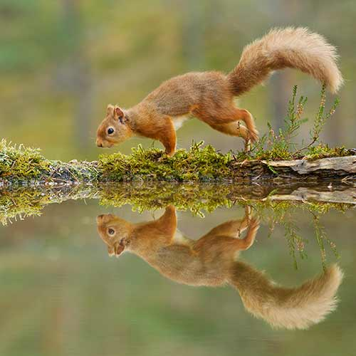 A red squirrel on a mossy log and reflected in water