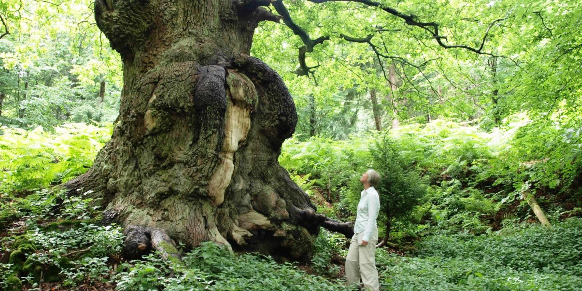 NYM-Ancient-tree-at-Duncombe-Deer-Park