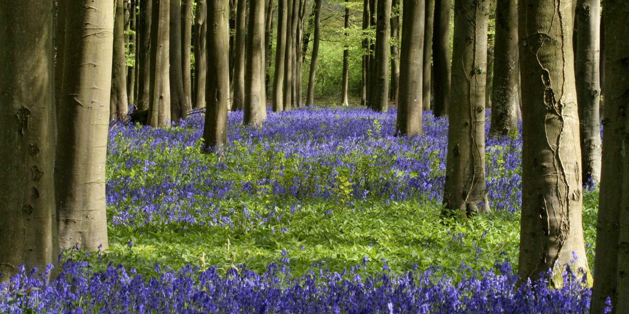 A carpet of bluebells under bare trees in springtime